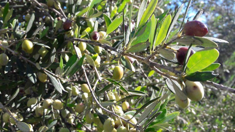 Olive Crete