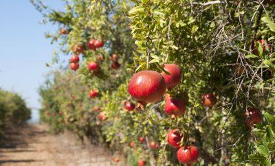 pomegranates-fruit-late-summer