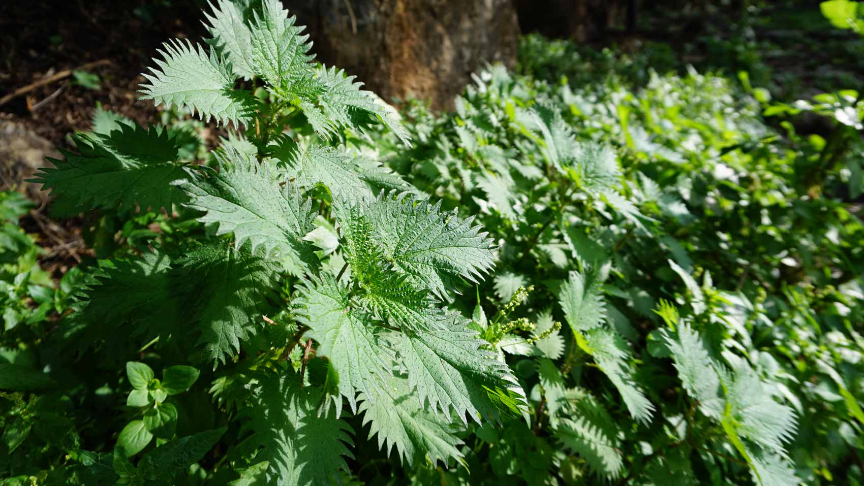Stinging nettle – a healthy power pack
