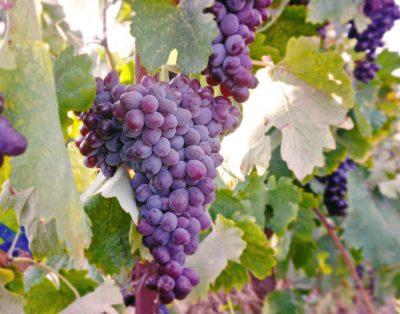 Wine harvest Crete