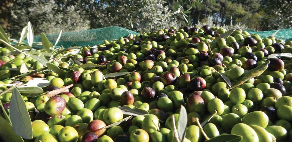 Olive harvest, South Crete