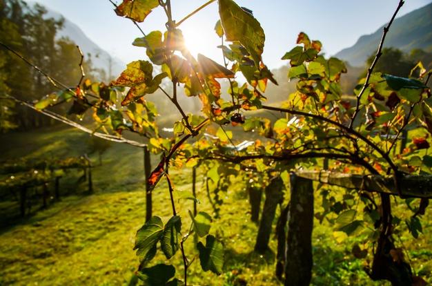 vineyard-South-Crete