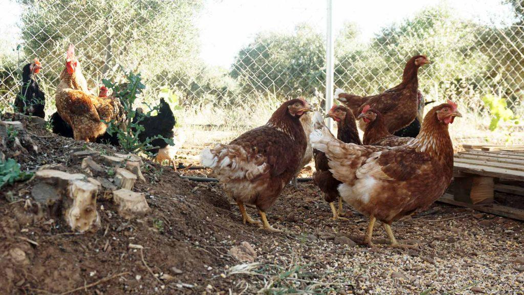 Chicken, Zeus Dione, Lagolio