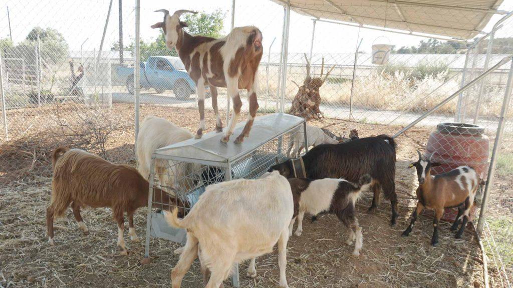 Goats, Zeus Dione, Animal farm, lagolio