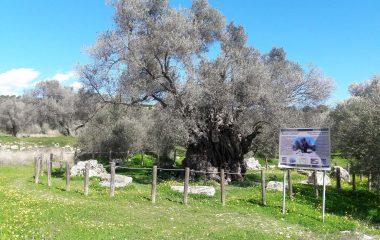 Mana Tree, Kamilari